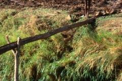 Mankusa ditch irrigation