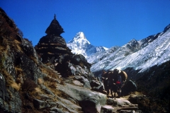 Yaks and Ama Dablam