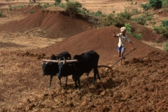 Oxen Tilling
